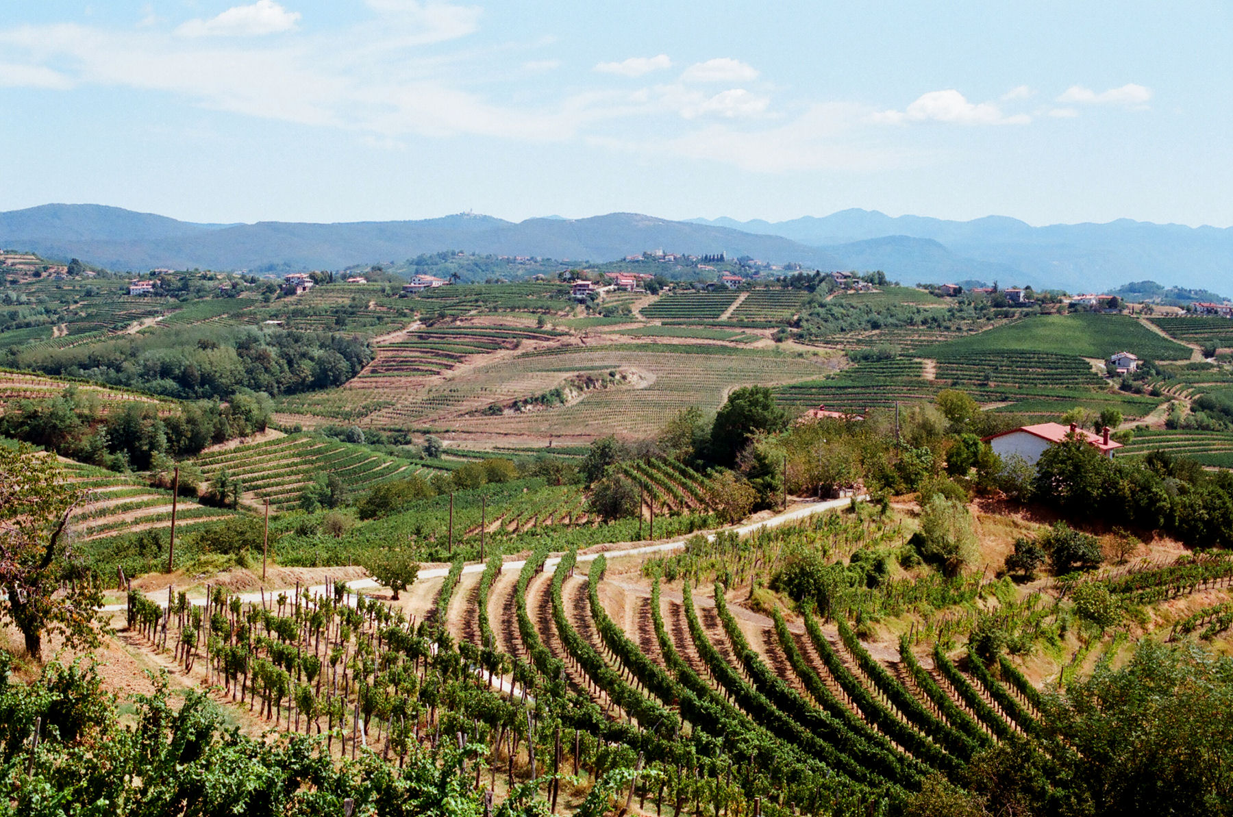 Hilly vineyards in the wine region of Goriska Brda in Slovenia