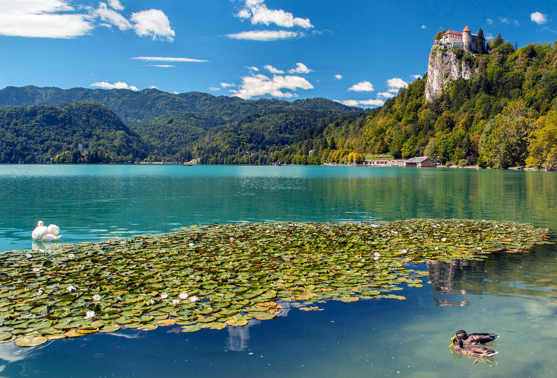 Water lilies and swan on Bled Lake, Slovenia