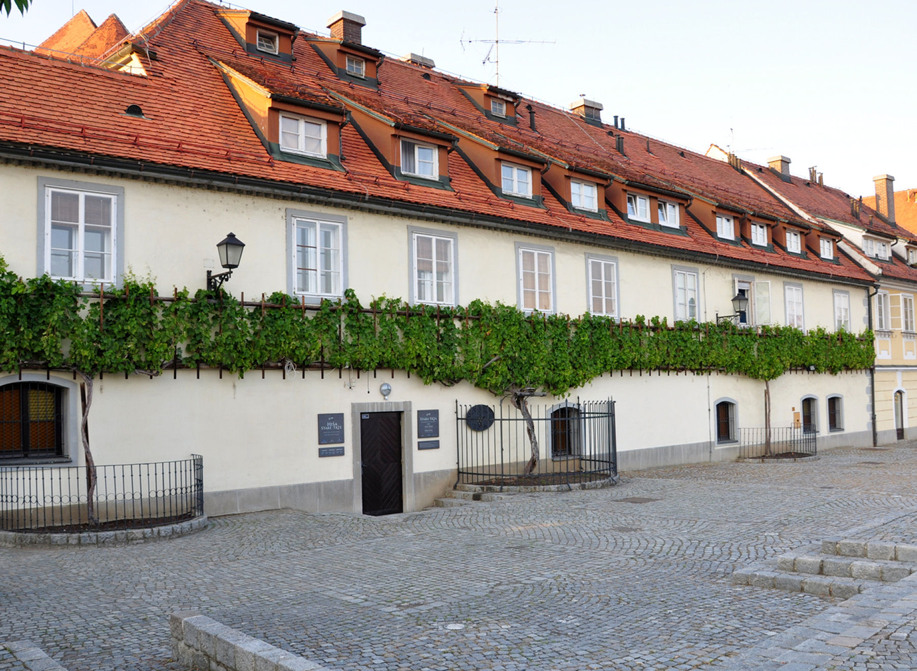 The Oldest Vine in the World growing outside the Old Vine House in Maribor, Slovenia