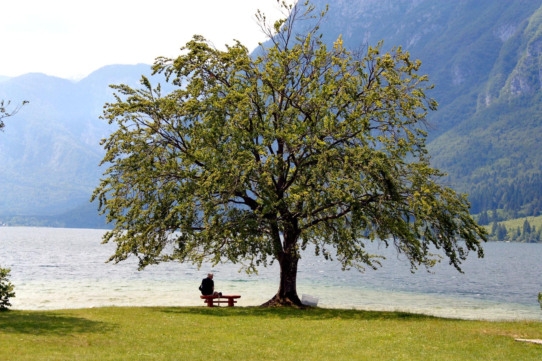 Bohinj glorious tree