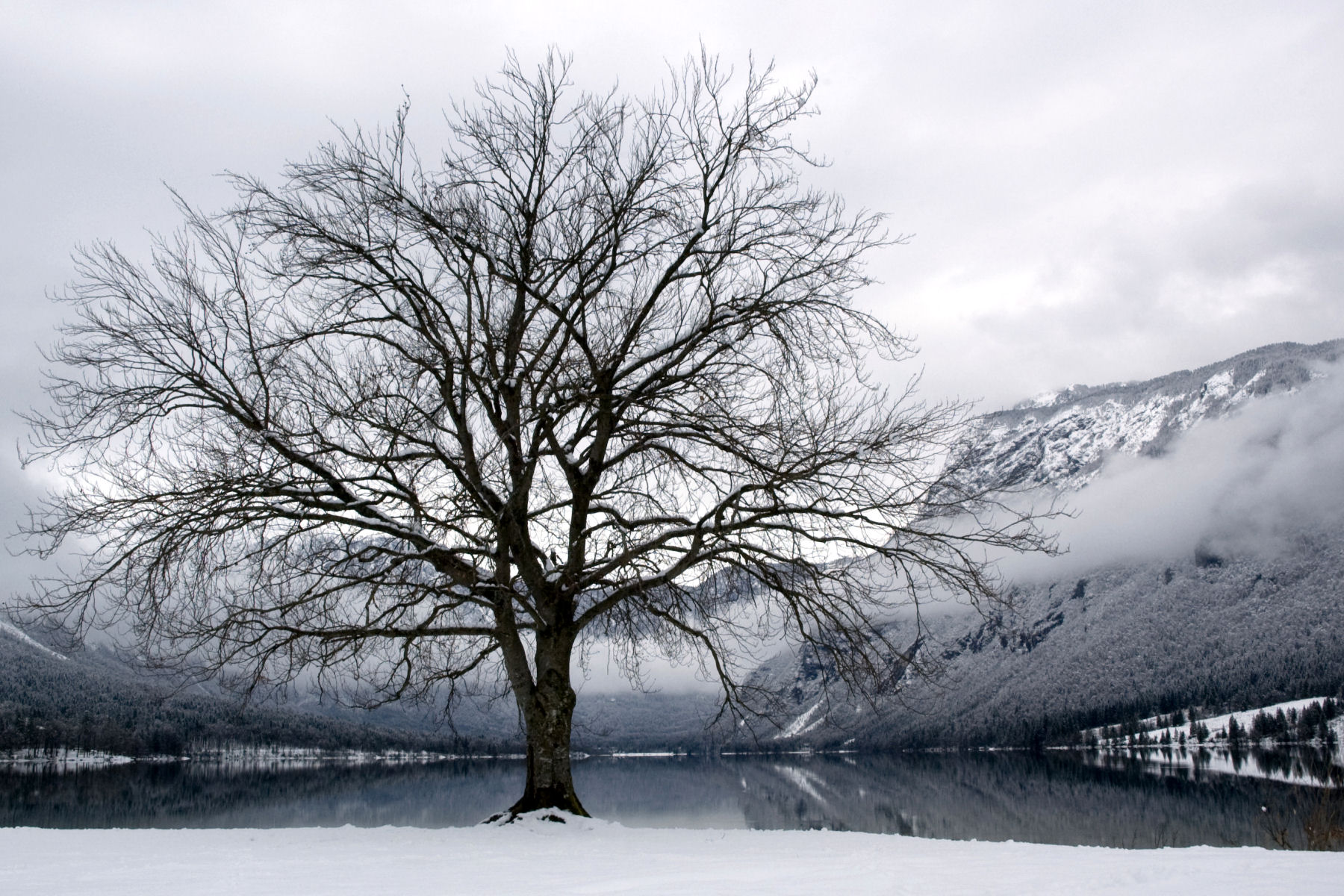 The famous tree at Lake Bohinj in winter