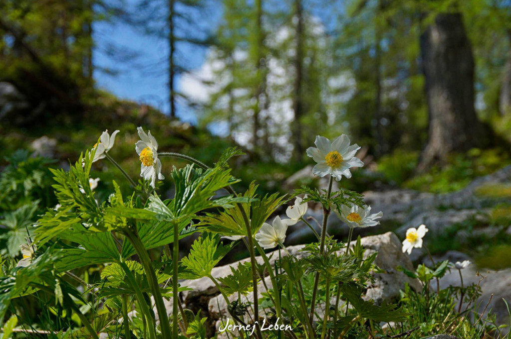 Alpine flowers in the Slovenian Alps