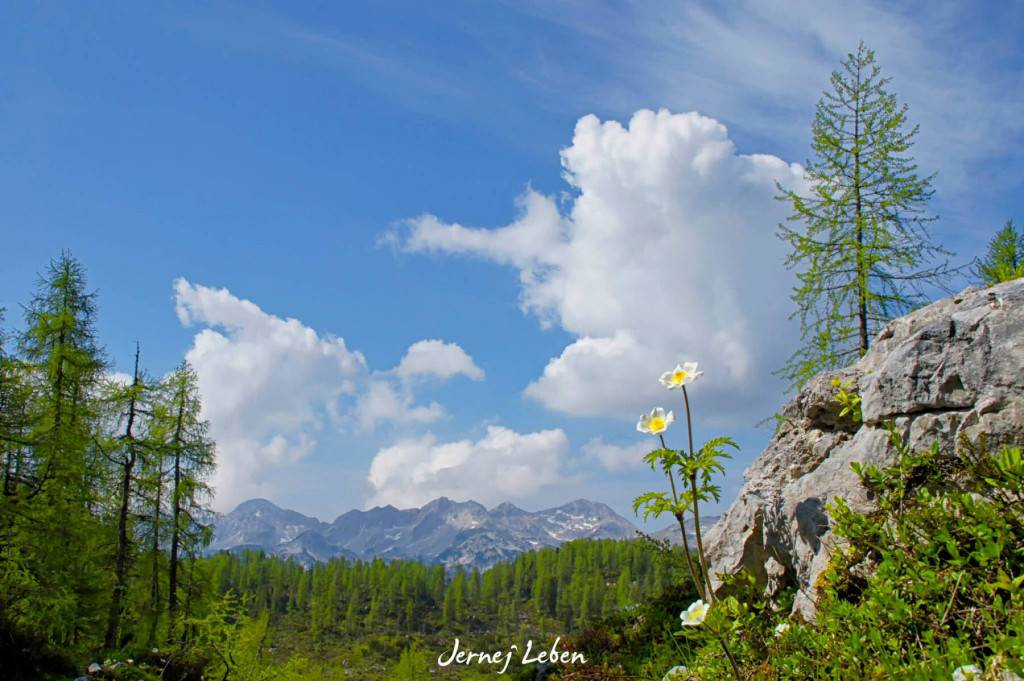 The beautiful nature and flowers in the Slovenian Alps