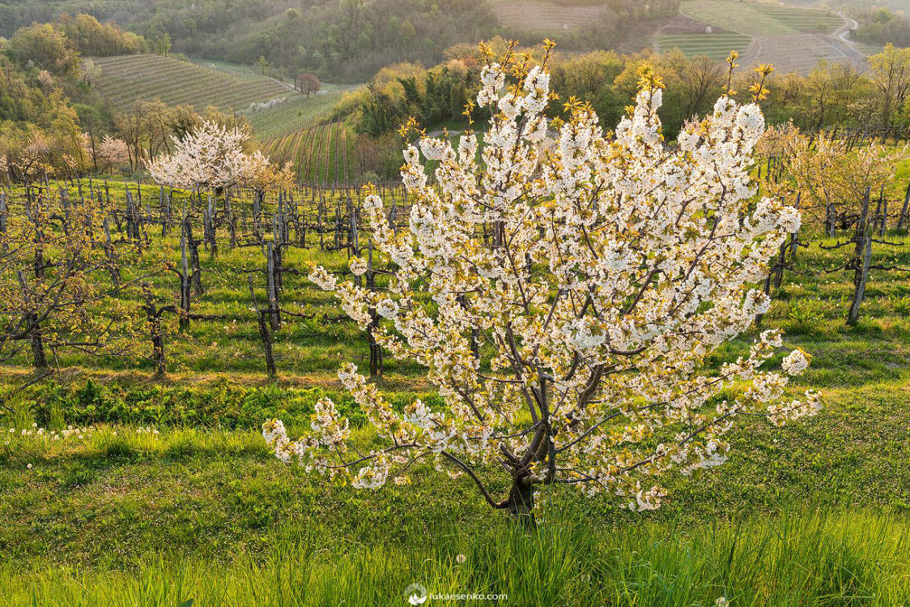 Flowering cherry trees and beautiful vineyards in the wine region of Goriska Brda, Slovenia