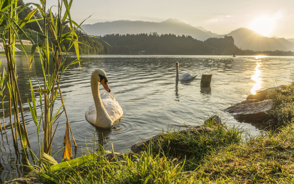 Graceful Swans in the early morning on Lake Bled, Slovenia