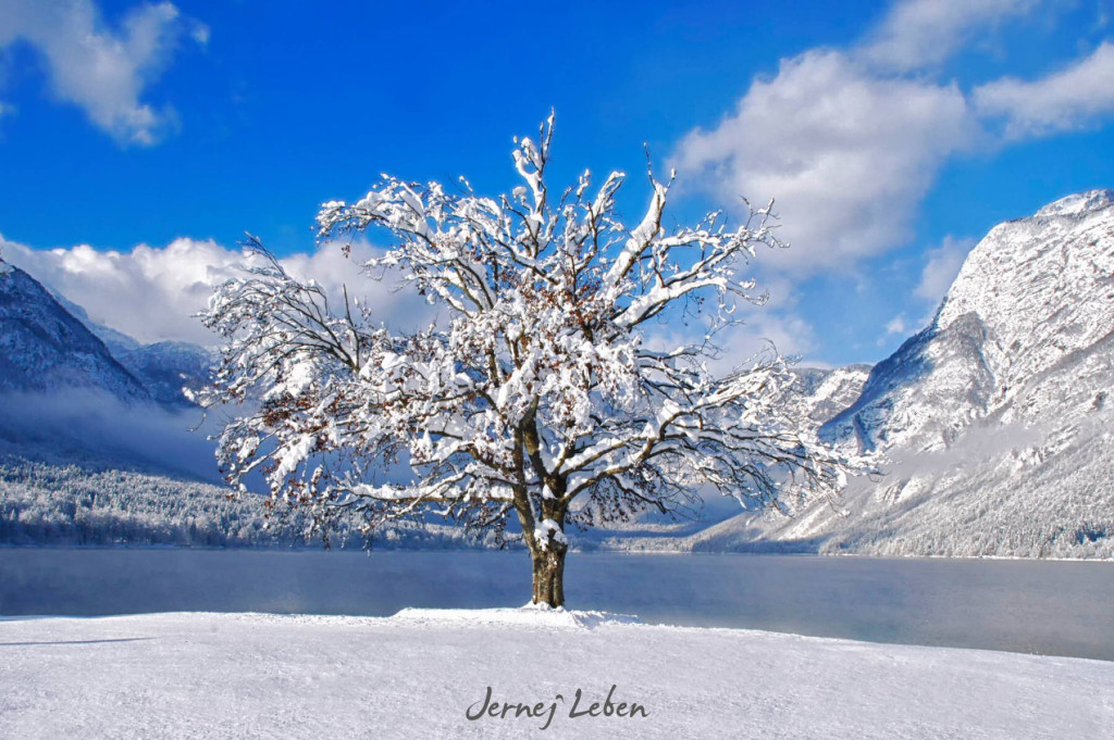 The most beautiful tree in front of Lake Bohinj in Slovenia