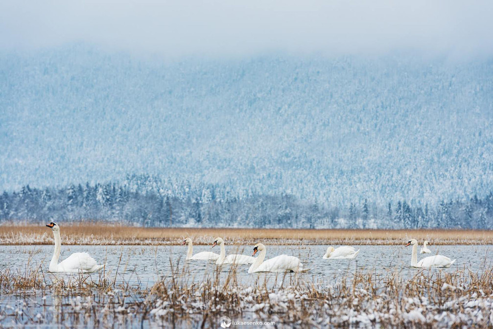 A group of elegant white swans floating on Lake Cerknica, Slovenia in the winter