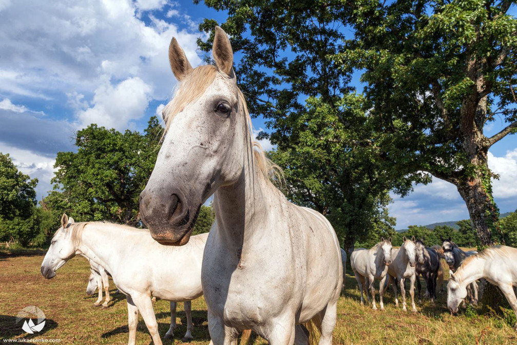the world-famous Lipizzan horses at the Lipica Stud Farm in Slovenia