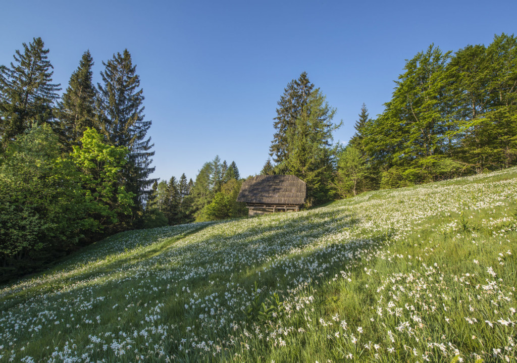 Meadow full of white wild daffodils at Golica near the town of Jesenice, Slovenia