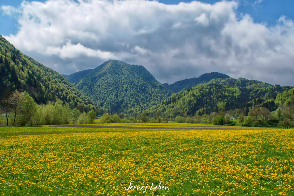 Yellow dandelion meadows in the spring in Slovenia