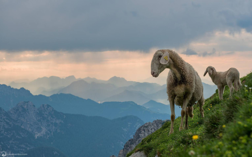 Two sheep enjoying stunning mountain views on an alpine pasture in the Slovenian Alp