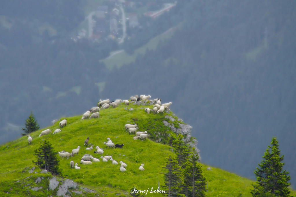 Sheep grazing on alpine pasture in the Slovenian Alps