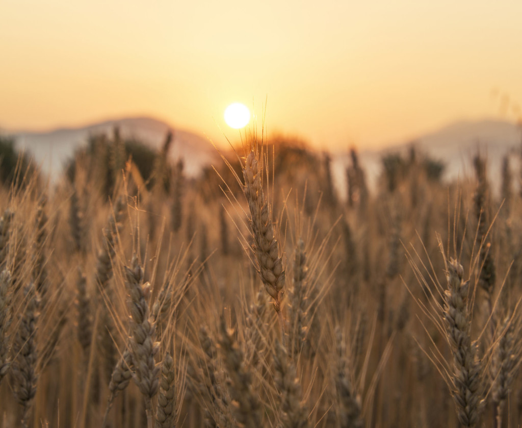 Beautiful sunset over the wheat field near the village of Rodine
