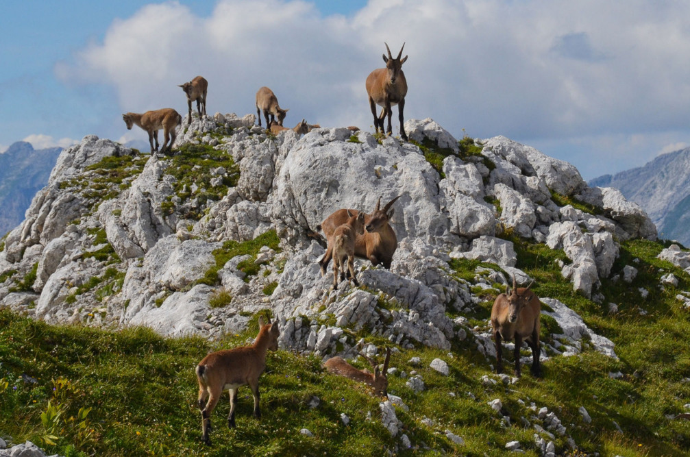 A herd of alpine ibexes in the Lepo Spicje mountains above Lake Bohinj, Slovenia