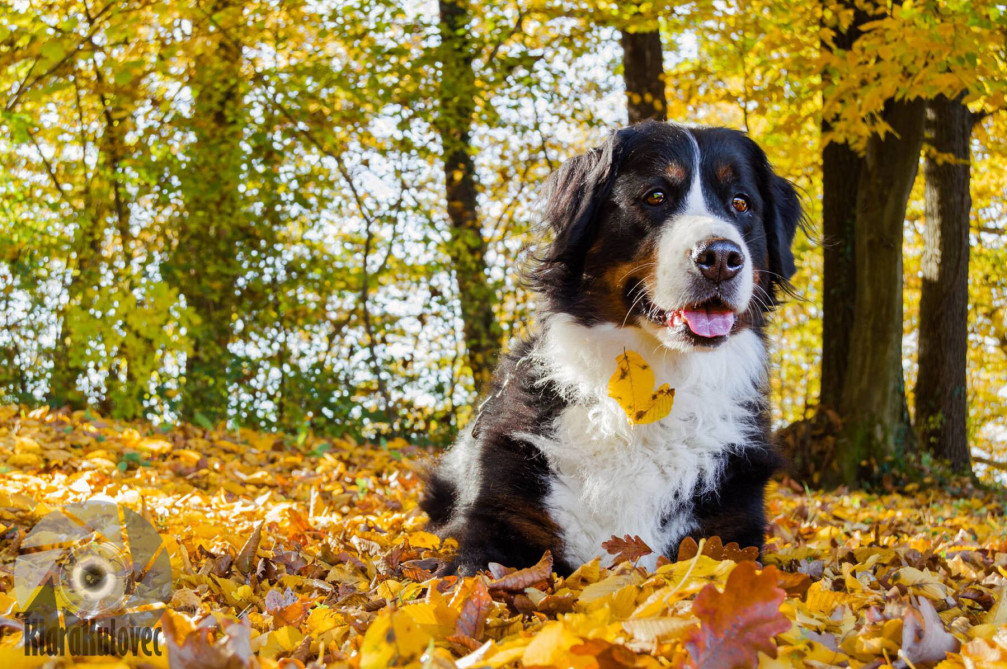 Cute dog playing in Autumn leaves in Slovenia