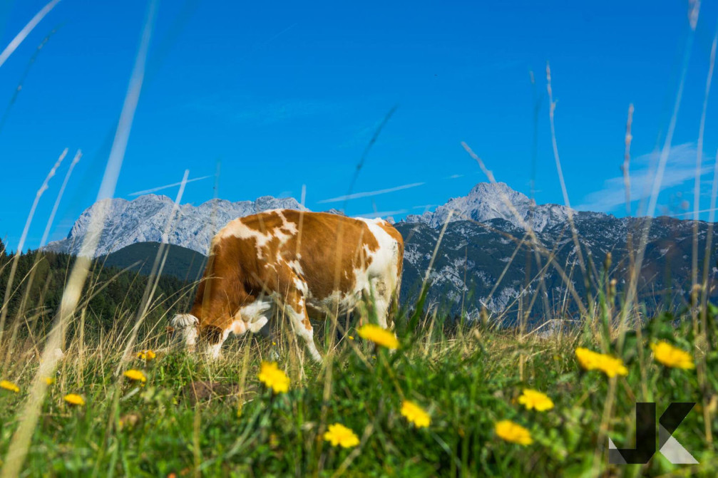 A cow on a dairy pasture with the Slovenian Alps in the background