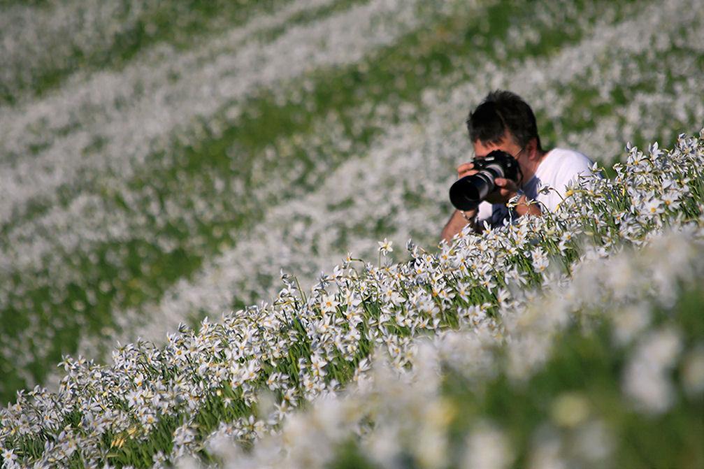 Beautiful white blanket of daffodils under Mt. Golica, Karawanks, Slovenia
