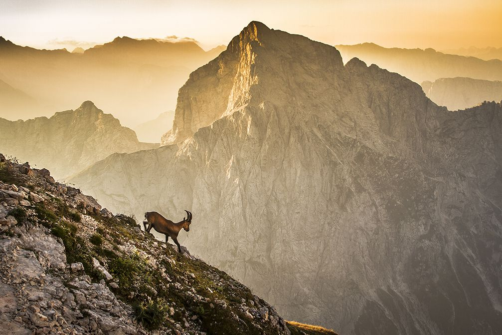 The Alpine ibex on the Mangart mountain in the Julian Alps, Slovenia