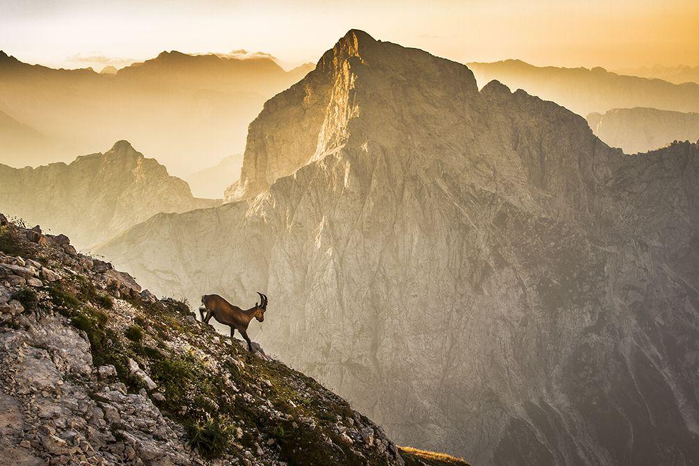 The Alpine ibex on the Mangart mountain in the Julian Alps, Slovenia