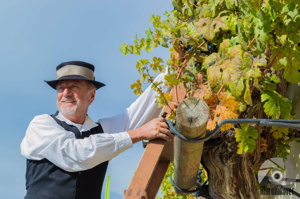 Old Vine grape harvest as part of the Old Vine Festival in Maribor, Slovenia