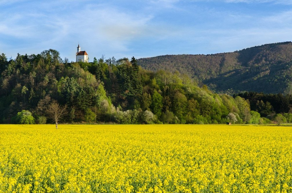 Yellow rapeseed field with a little church at the top of the Pekrska gorca hill, Slovenia