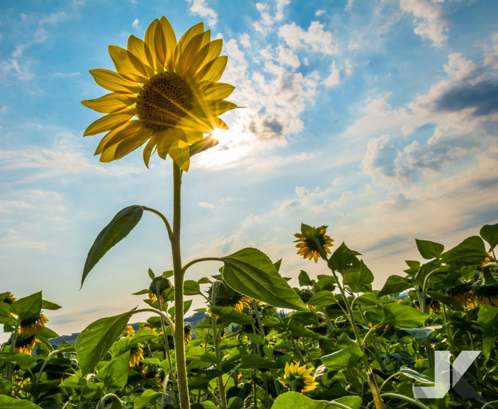 A field of sunflowers somewhere in the Styria region of Slovenia