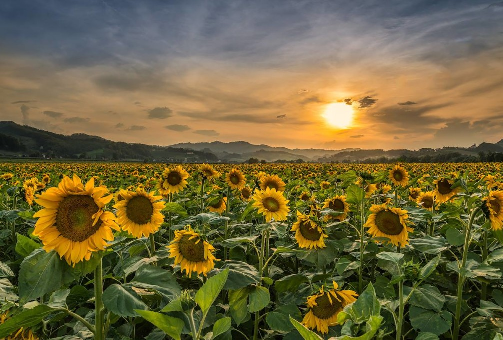 Beautiful field of sunflowers near the village of Pesnica in the Styria region of Slovenia