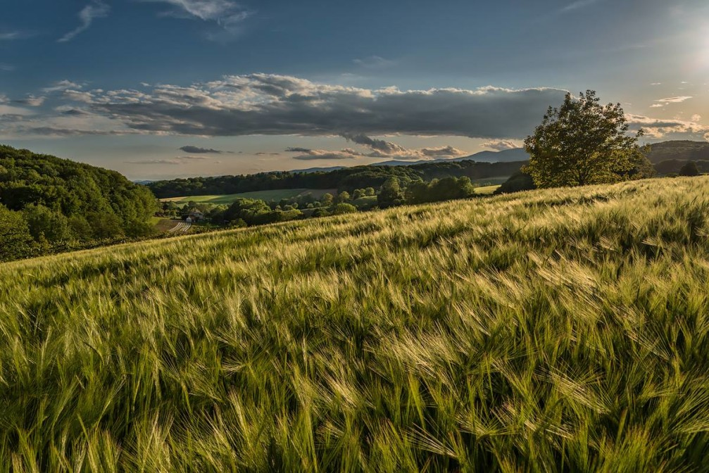 Wheat field on the southwestern edge of the Slovene Hills near the village of Zimica, Slovenia