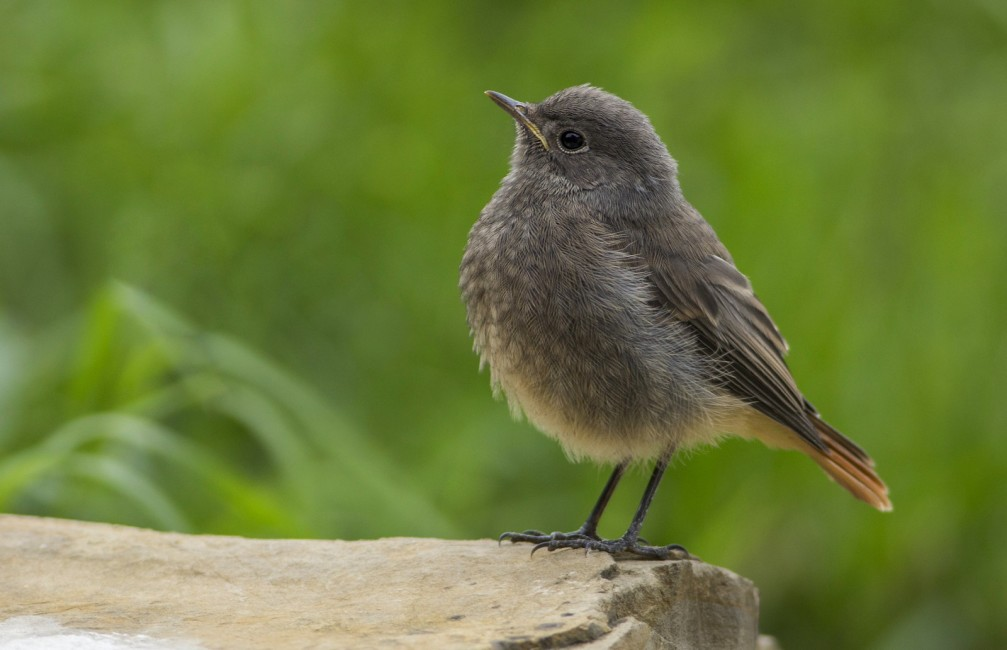 The female black redstart, Phoenicurus ochruros, photographed in Slovenia