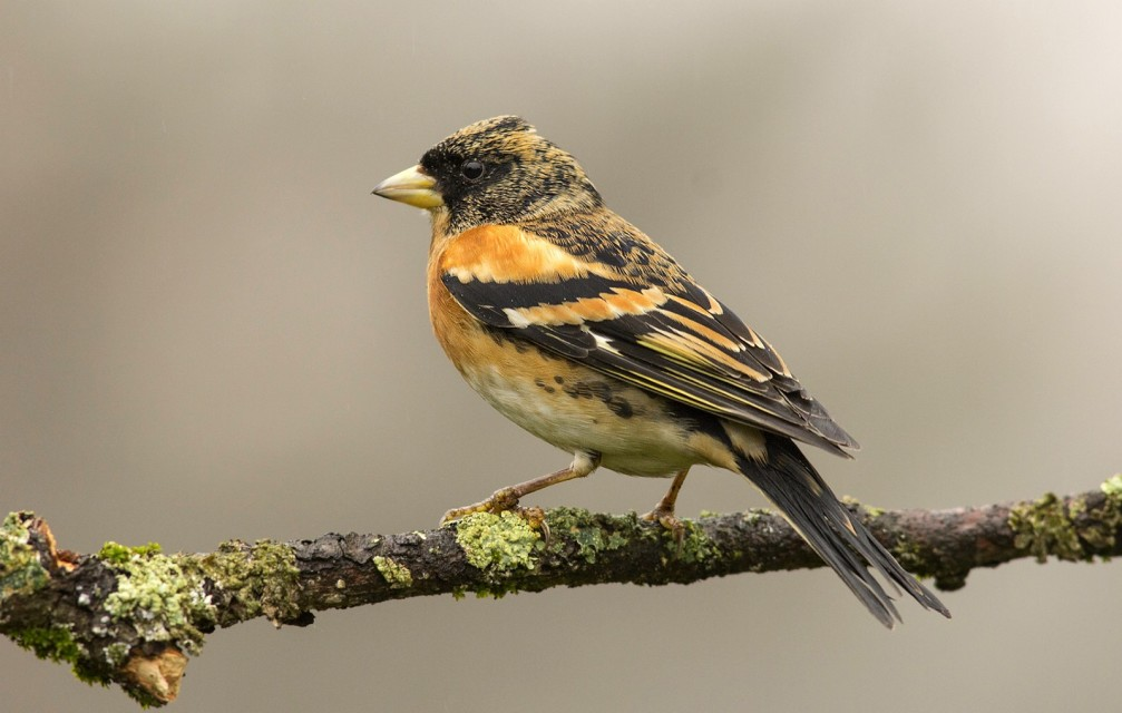 Fringilla montifringilla, the brambling photographed in Slovenia