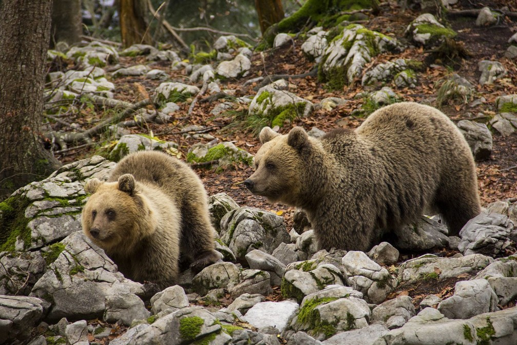 Two Eurasian brown bears, Ursus arctos, in the Dinaric Mountains of Slovenia