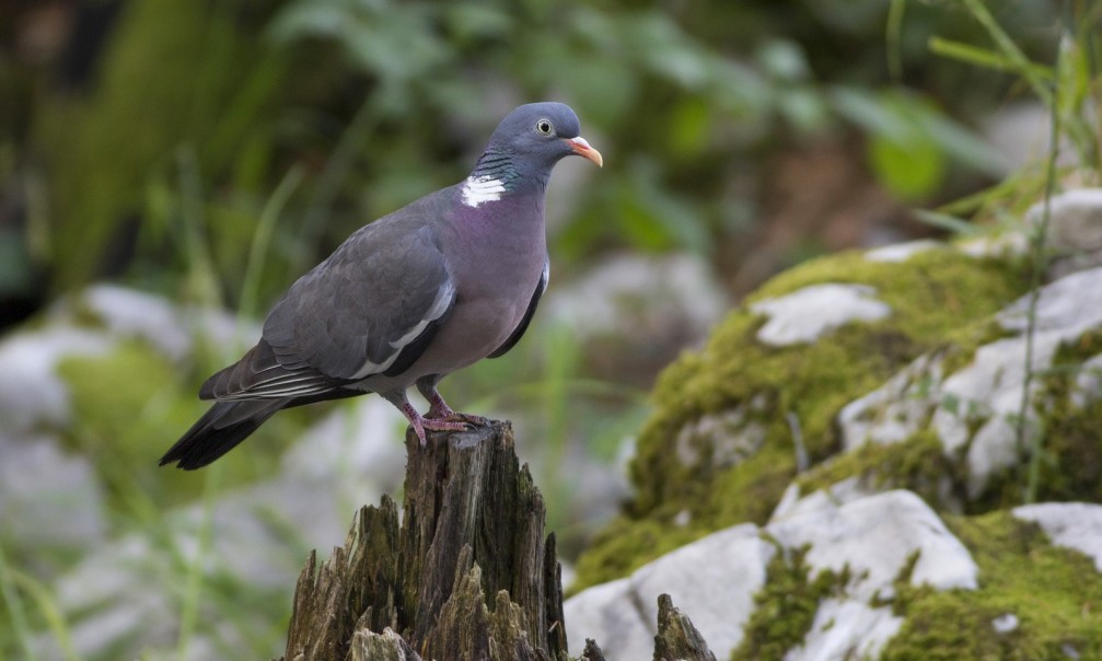 Columba palumbus, the common wood pigeon photographed in Slovenia