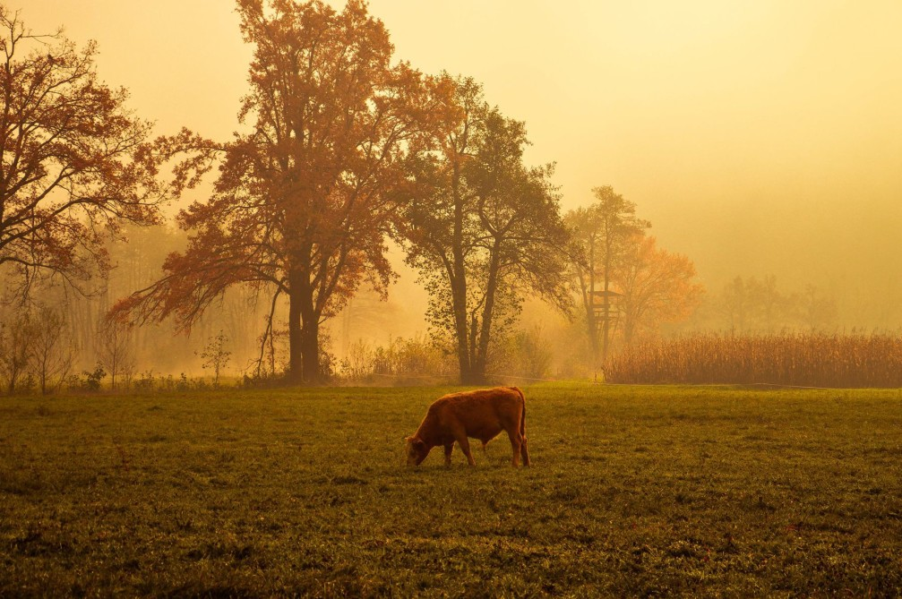 A cow grazing in a pasture in the Vrhnika countryside, Slovenia