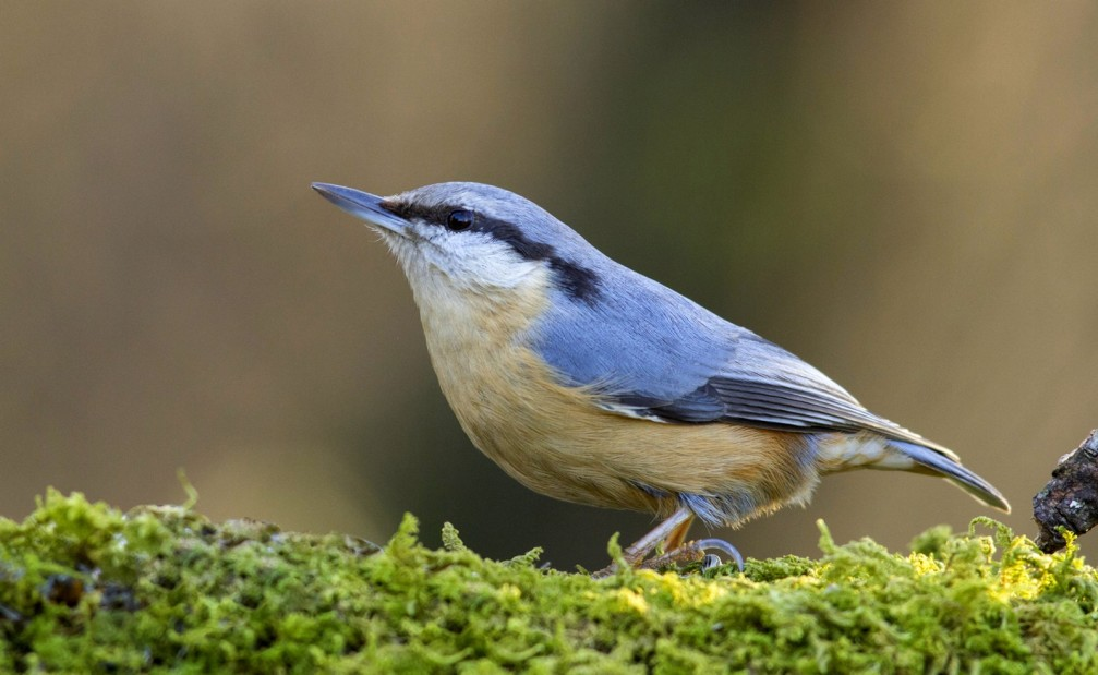 Sitta europaea, the Eurasian nuthatch photographed in Slovenia