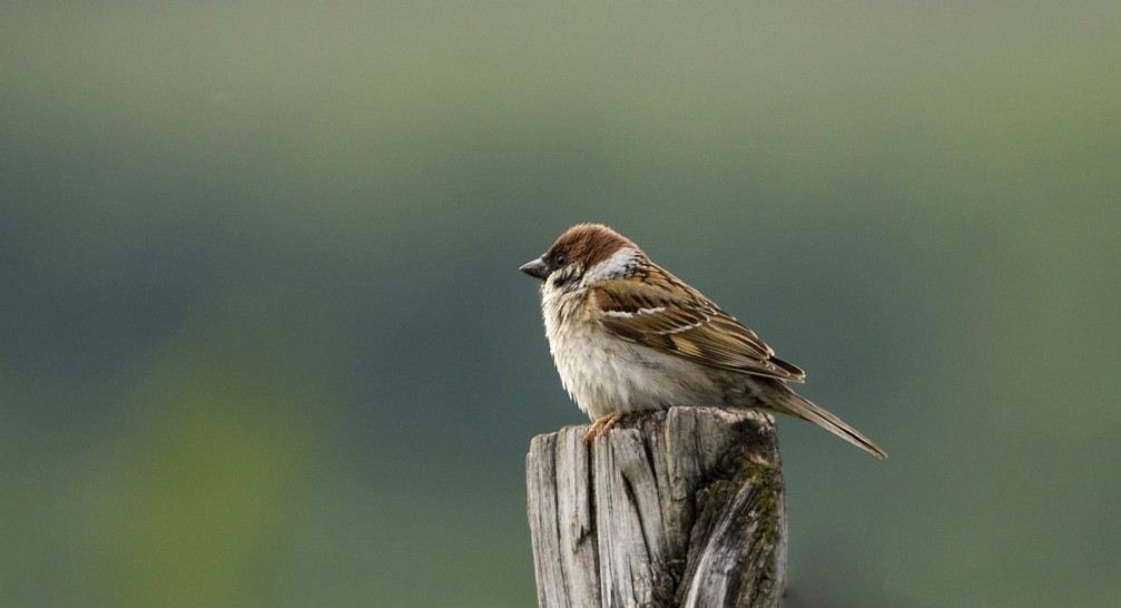 Passer montanus, the Eurasian tree sparrow photographed in Slovenia
