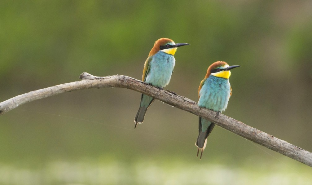 Two European Bee-eaters, Merops apiaster, photographed in Slovenia