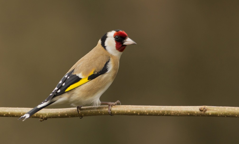 Carduelis carduelis, the European Goldfinch photographed in Slovenia