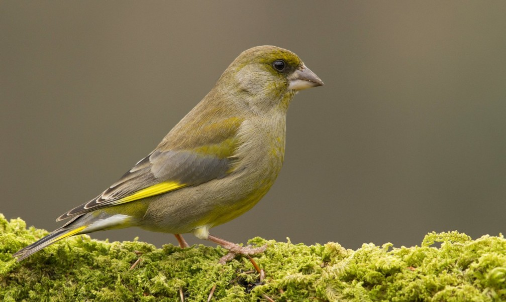 Carduelis carduelis, the European Greenfinch photographed in Slovenia