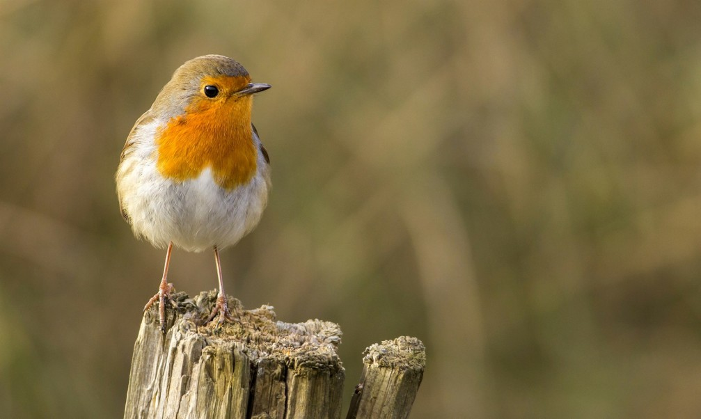 Erithacus rubecula, the European robin photographed in Slovenia