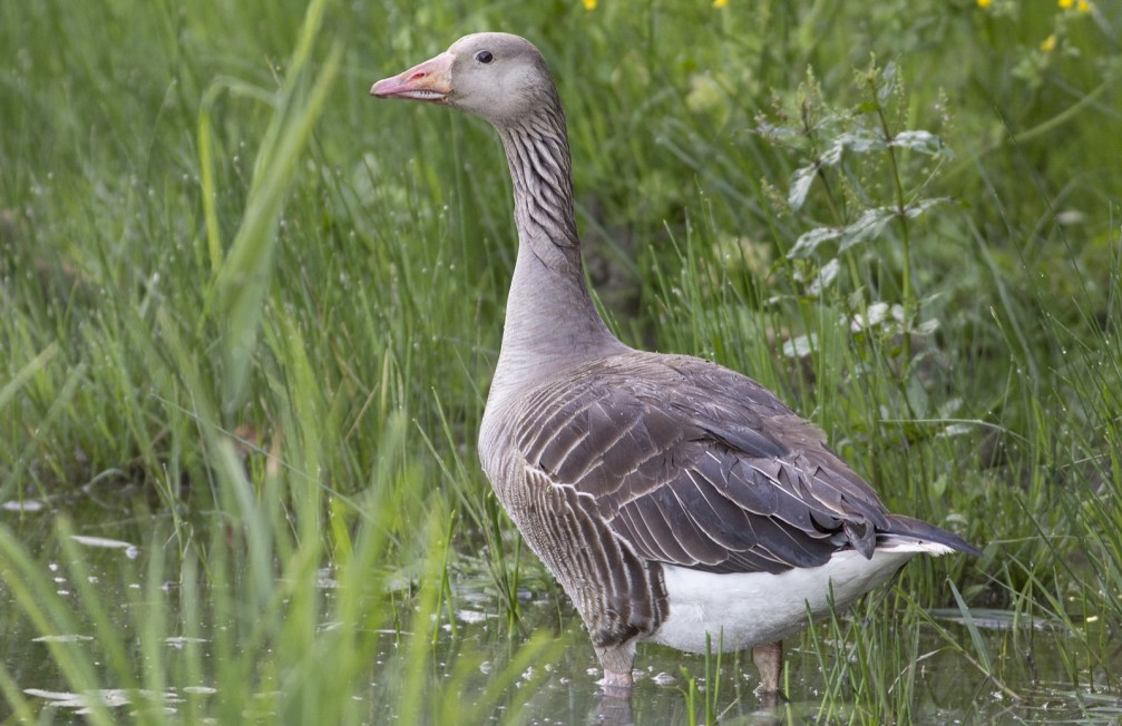Anser anser, the greylag goose photographed in Slovenia