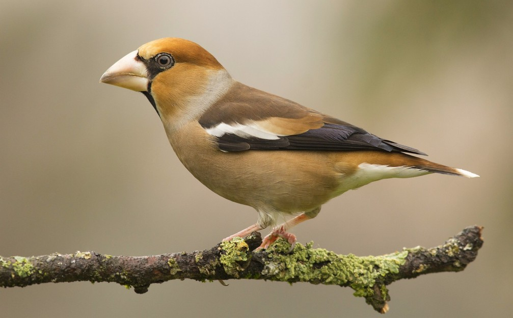 Coccothraustes coccothraustes, the hawfinch photographed in Slovenia
