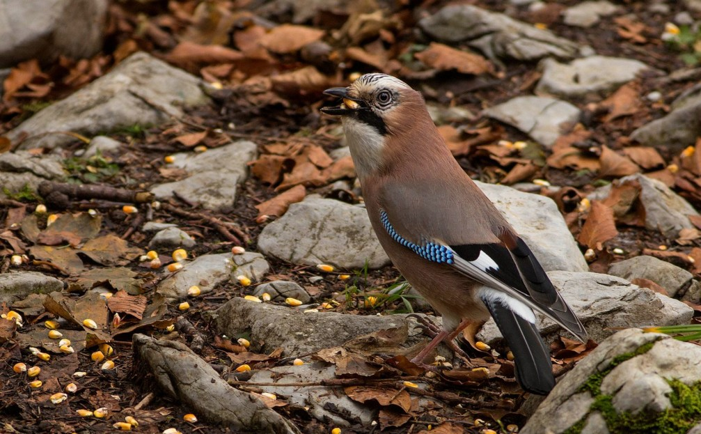 A hungry Eurasian Jay, Garrulus glandarius, eating corn