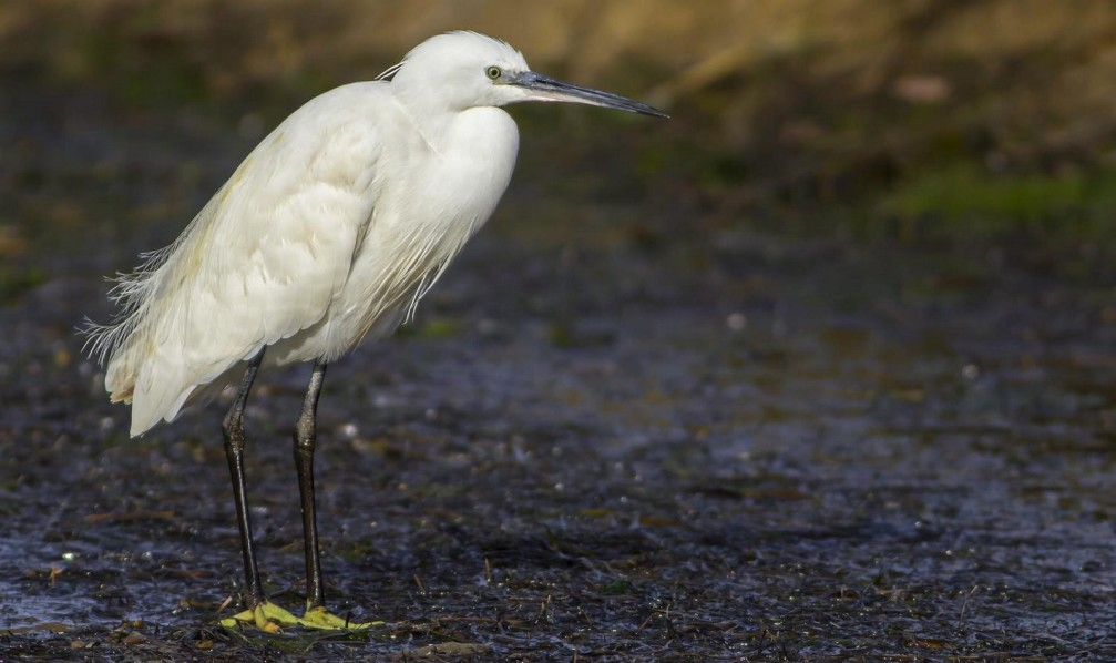 Egretta garzetta, the little egret photographed in Slovenia