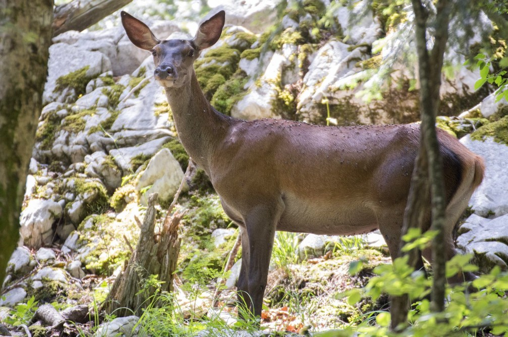 Hind or the female red deer, Cervus elaphus, in the wild in Slovenia