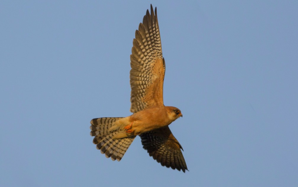 Falco vespertinus, the red-footed falcon photographed in Slovenia