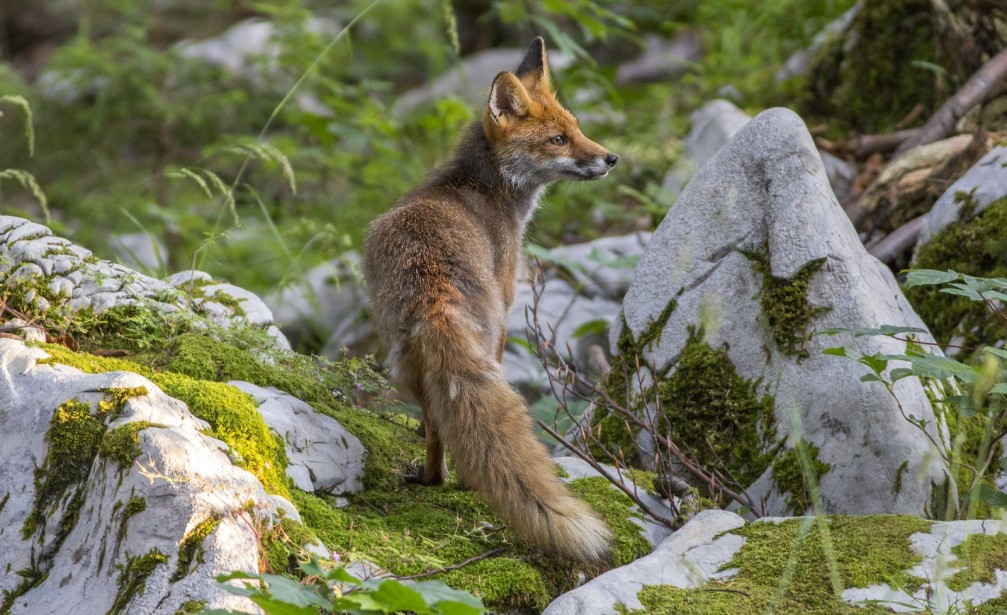 Wild red fox, Vulpes vulpes, scavenging in a forest in Slovenia