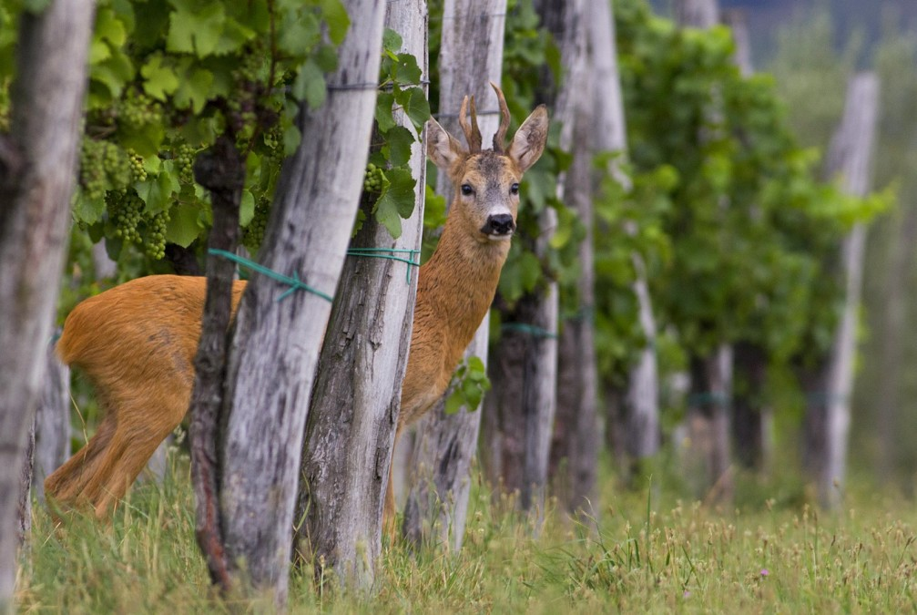 The small, elegant male roe deer, Capreolus capreolus, standing alert in the vineyard in Slovenia