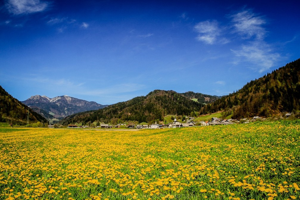 Beautiful spring shot with a dandelion meadow in the Selca valley in Slovenia
