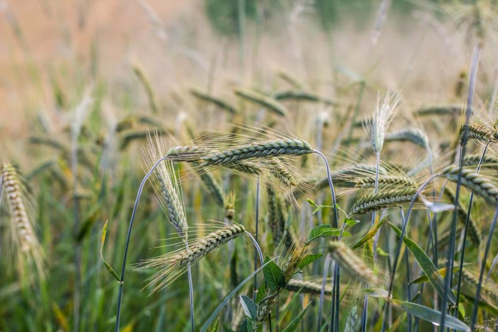 Wheat growing on the field near the village of Velika Loka, Slovenia