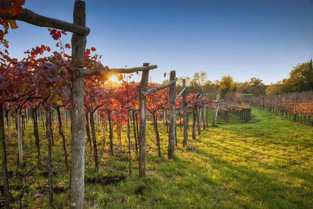 Vineyards planted with the Refosco grape variety in the Karst wine-growing region of Slovenia